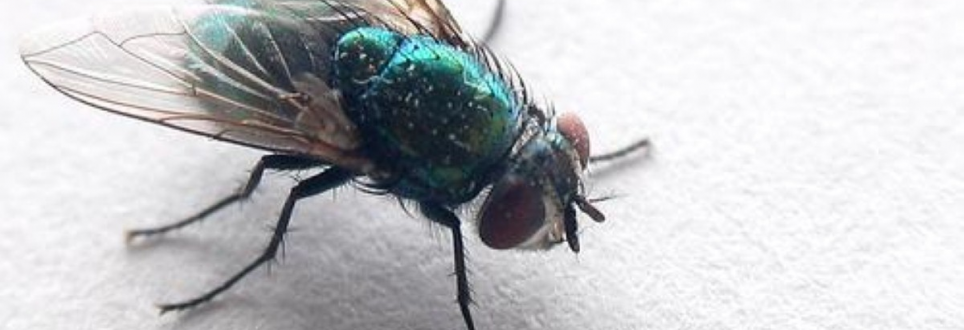 Fly catchers used in research on Alzheimer's and Parkinson's disease