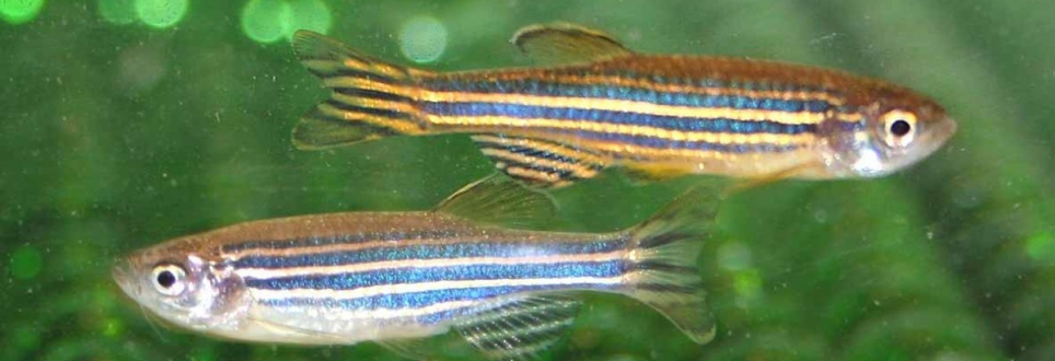 Zebrafish used to gain greater understanding to Alzheimer's disease