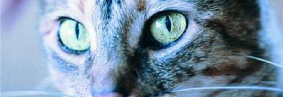 Cat owners 'have healthier hearts'
