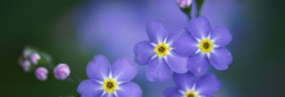 Forget-me-not flowers to help with dementia treatment